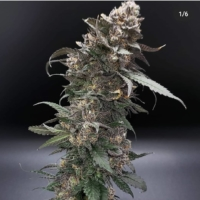 orange headrush f2 cannabis seeds by terp fi3nd