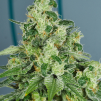 pop art mmj seeds by mms