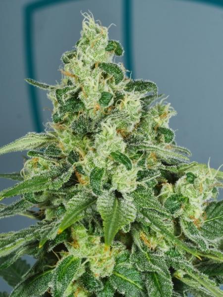 pop art cannabis seeds