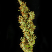 swabi landrace marijuana seeds