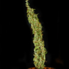 swabi f2 pakistan region cannabis seeds