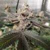 the undertaker cannabis seeds
