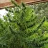kashmir valley marijuana seeds