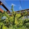 barramulla valley marijuana seeds