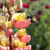 russell lupine pink and yellow seeds