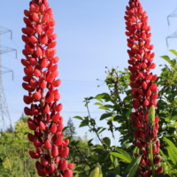red and pink lupine seeds