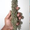rooh azfa marijuana seeds fullpower selections