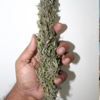 rooh azfa marijuana seeds fullpower selections