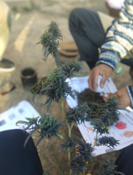manipur sikal cannabis seeds from india