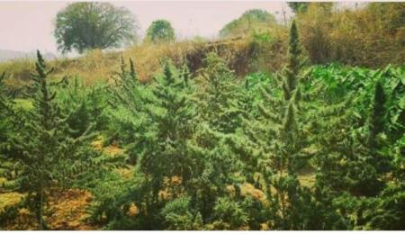 andhra bhang landrace cannabis