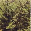 andhra bang landrace sativa marijuana seeds