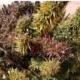 balochistan selection 1 red marijuana