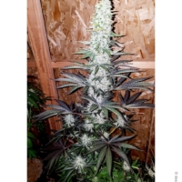 blueberry bx mmj seeds deadpanhead