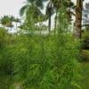 cambodian cannabis seeds
