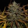 cheese autoflower cannabis seeds fast buds