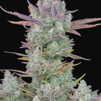 gorilla cookies auto fast buds ruderalis seeds