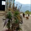 kalimpong darjeeling marijuana plant