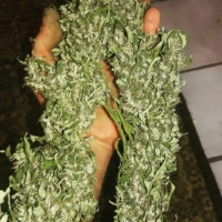 kerala gold marijuana seeds