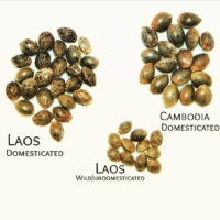 laos cannabis seed shape and size