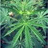 laos ventiane cannabis seeds