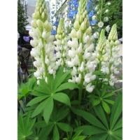 lupinus bright white russel lupine