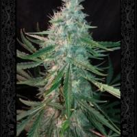 manbearalienpig auroflower cannabis seeds by Mephisto Genetics