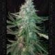 manbearalienpig auroflower cannabis seeds by Mephisto Genetics