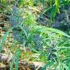 manipur burma cannabis seeds