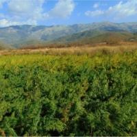 manipur burma cannabis field