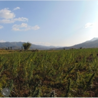 manipur burma field indian landrace marijuana