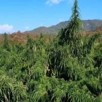 manipur burma heirloom indian cannabis seeds
