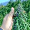 manipur burma cannabis cola