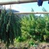 manipur burma indian landrace marijuana seeds