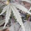 pans cake leaf