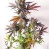 pan cake cannabis seeds