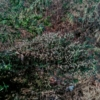 rajasthan indian landrace mutant seeds