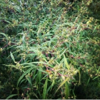 urgam valley landrace mmj seeds