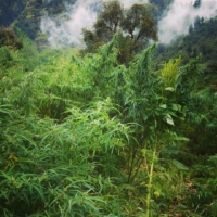 urgam valley amaranth and cannabis