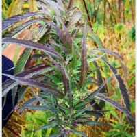 wailing valley marijuana seeds
