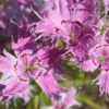 pinks dianthus spooky seeds