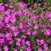 dianthus deltoides maiden pink seeds