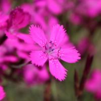 pinks maiden pink dianthus