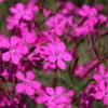 maiden pink dianthus seeds