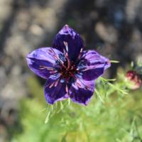 fennel flower seeds midnight