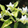 fish pepper white flowers
