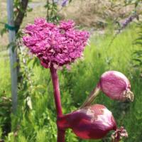 Angelica purpurea seeds