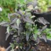 striped mols pepper seeds