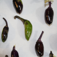 bellingrath gardens pepper seeds