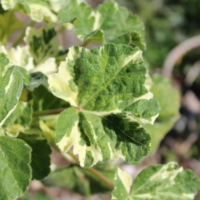 mallow variegated leaves