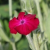 lychnis rose seeds